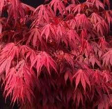 (Oregon Sunset Japanese Maple 1 - Year Graft)