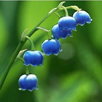 Amazon Com Convallaria Majalis Colorful Lily Of The Valley