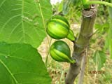 Rare striped fig treeFicus carica Rigato del Salento 1000 fresh seeds/pack