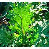 300+ Red Russian Kale Seeds- Heirloom Variety- 2017 Seeds