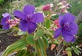 "1 Rooted of Tibouchina Urvilleana ""Princess Flower"""