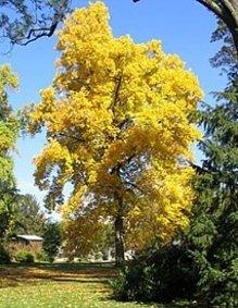 Tulpenbaum - Liriodendron tulpifera - Samen tropical.garden