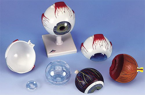 3B社 眼球模型 視覚器(眼球)5倍大6分解ジャイアントモデル (f10)   B003Z2TURE