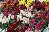 100 Dwarf Magic Carpet Snapdragon Flower Seeds