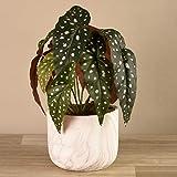 BLOOMR Begonia Plant