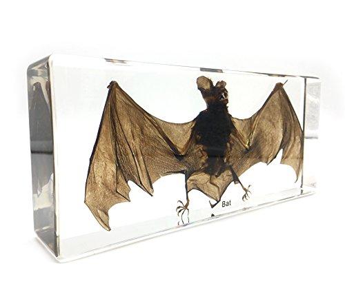 X-Large Taxidermy Real Bat Specimens Science Classroom Specimen for Science Education(7.9x3.6x1.6 inch) (Bat Globe)