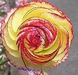 1 Professional Pack, Aprrox 20 seeds / pack, Beautiful Flowering Blubs'Ranunculus-Persian Buttercup' New Flower Bulb # LT622