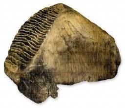 Woolly Mammoth Tooth (Teaching Quality Replica)