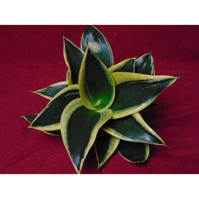"Sansevieria""Yellow Birdsnest"" Snake Plant 2.5"" Pot Live Plant (HNR) : Garden & Outdoor"