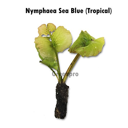 Live Aquatic Plant Nymphaea Sea Blue Ocean Tropical Water Lilies Tuber for Aquarium Freshwater Fish Pond by Greenpro by Greenpro (Image #1)