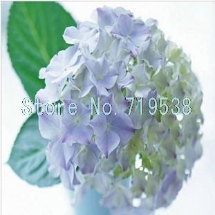 semillas de hortensia comn balcn variedades de semillas en macetas de flores de hortensia tienen