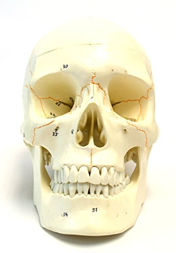 Numbered Human Adult Skull Anatomical Model, Medical Quality, Life Sized (9'' Height) - 3 Part - Removable Skull Cap - Shows Most Major Foramen, Fossa, and Canals - Includes Full Set of Teeth by hBARSCI (Image #1)