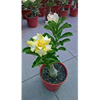 Plants Point Rare Bonsai ' Yellow Angel Adenium ' - 1 Healthy Live Plant In Polybag