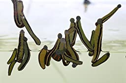 4 Live Leeches - Leech Worms Hirudo Medicinalis - Medical Leaches Leach Worms4