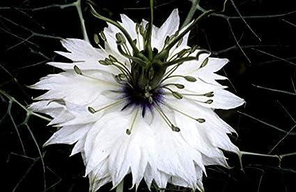 Amazon com : 900 Seeds of nigelle Damascus Miss Jekyll White