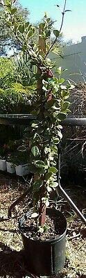 Confederate Star Variegated Jasmine 4 Foot Vine 3 Gallon Roots Size by liveplantflower (Image #2)