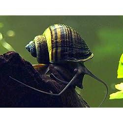 Aquatic Arts 1 Live Black Mystery Snail | Freshwater Aquarium Algae Control/Glass Cleaner | Safe in Tetra/Guppy/Betta Fish Tanks | Tank Decor