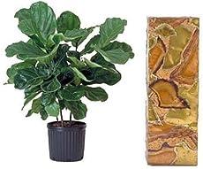 fiddle leaf fig - Fiddle Leaf Fig Tree Care