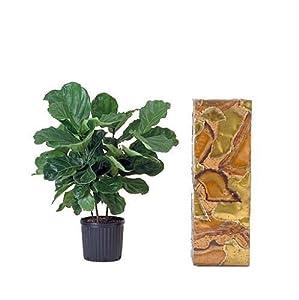 hirts fiddleleaf fig tree ficus great indoor tree easy 6 pot