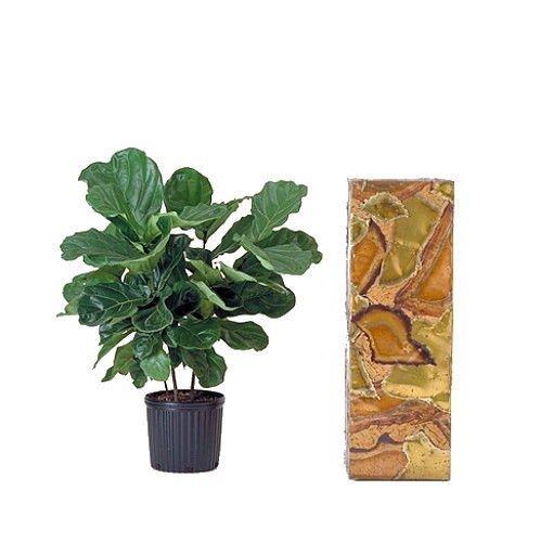 Hirts Fiddleleaf Fig Tree Indoor