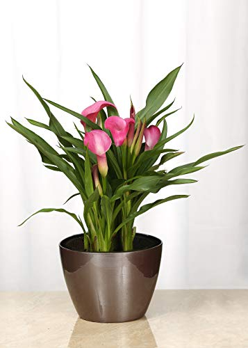 Live Calla Lily in Copper-Toned Metal Container- 6 Inch Indoor Plant