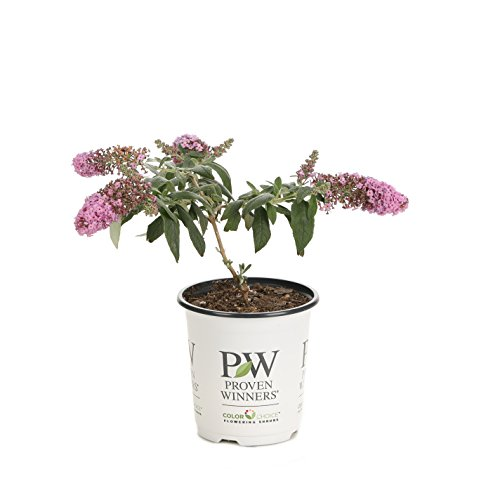 Hardy Butterfly Bush - Pugster Pink Butterfly Bush (Buddleia) Live Shrub, Pink Flowers, 4.5 in. Quart