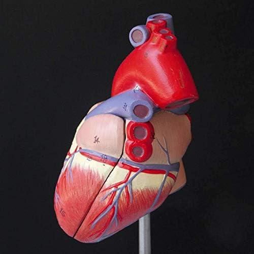 2020 Menselijk Hart Anatomie Anatomisch Model voor Onderwijs Medisch Model Ingewanden Orgel Emulacional + Leermiddelen Medische Wetenschap Staande