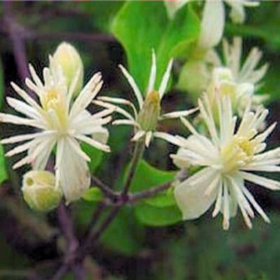 White CLEMATIS VITALBA evergreen fully hardy 20 seeds