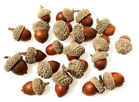 Real acorns images galleries with a bite for How to preserve acorns