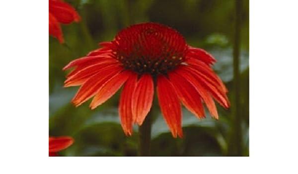 25+ Ruby Red Echinacea Equinácea/Larga duración Semillas perenne ...