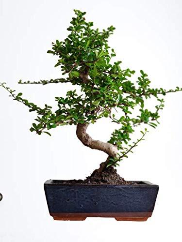 Abana Homes® Bonsai Plants for Home Indoor Live – 9 Yrs Old Carmona Bonsai Tree