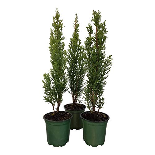 Sandys Nursery Online Cypress Italian Cupressus sempervirens 'Stricta' ~Lot of 30~4 inch Pot