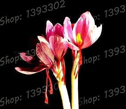 Homely Echte Krokus-Safran-Zwiebeln Bonsai-Blumenzwiebeln bl/ühen das ganze Jahr /über Topfpflanze 2 Zwiebeln: Burgu nicht Safran-Pflanze