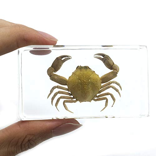 Crab Paperweight Specimen Science Classroom Specimens for Science Education