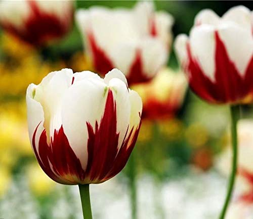 Red and White Parrot Tulip Bulbs - 6 Bulbs Double Blooming Spring Flower Garden Landscape