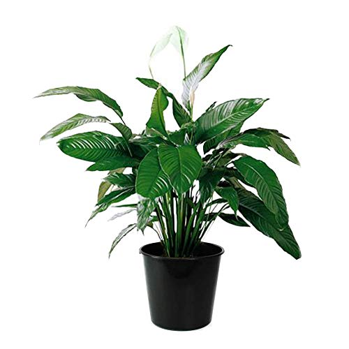 Peace Lilly - AMERICAN PLANT EXCHANGE Spathiphyllum Debbie Peace Lily Live Plant, 3 Gallon, Indoor/Outdoor Air Purifier!