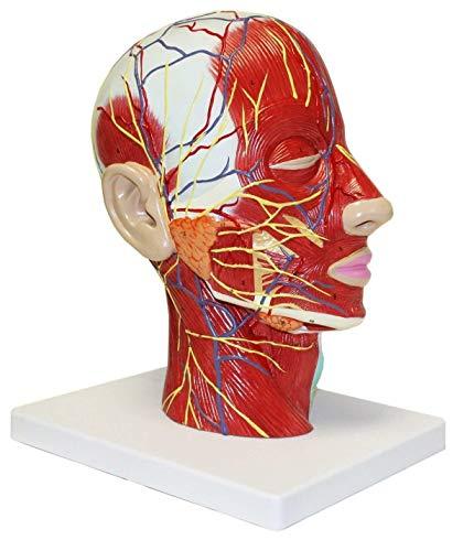 OUBO Human Half Head Superficial Neurovascular Anatomical ModelMusculature