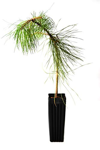 - TreesAgain Potted Ponderosa Pine Tree - Pinus ponderosa - 12 to 18+ inches (See State Restrictions)