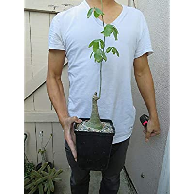 1 Adenia Glauca Caudiciform Succulent B032 : Garden & Outdoor