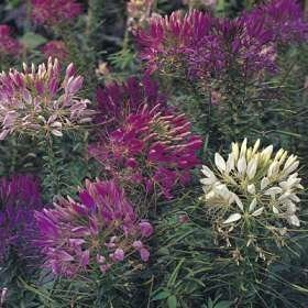 S QUEEN CLEOME (Spider Flower) Cleome Hasslerana Flower Seeds ()