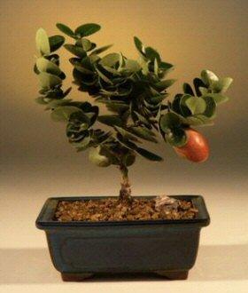 Amazon Com Flowering Plum Bonsai Tree Small Bonsai Plants Grocery Gourmet Food