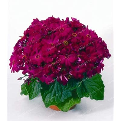 Kasuki 100PCS Florists Cineraria Bonsai 9 Kind Different Bonsai Flowers Pericallis hybrida Bonsai DIY Home and Garden Decor - (Color: 8): Garden & Outdoor