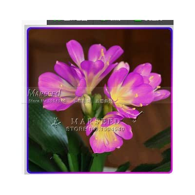 1 Pcs Gorgeous Clivia flower seeds (Kaffir Lily ), semenatsvety room flowers, beautiful, rare real seeds, guranteed 1Purple Clivia seeds : Garden & Outdoor