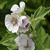 Outsidepride Marsh Mallow - 1000 Seeds