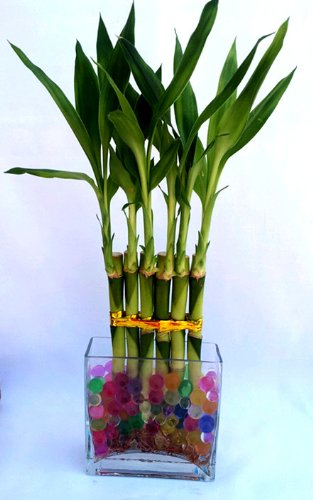 1 Set (6 Stalks) of Lucky Bamboo Straight Arrangement in a Galss Vase for Feng Shui or Gifts