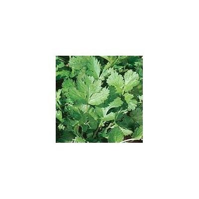 Cilantro Herb 100 Seeds -Coriander - Garden Fresh Pack! : Vegetable Plants : Garden & Outdoor