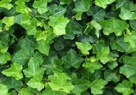 English Ivy Hedera helix Groundcover - 200 Bare Root Plants by English Ivy Hedera helix Groundcover (Image #1)