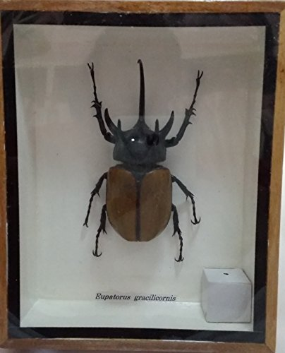 rare-giant-5-horn-rhino-beetle-taxidermy-insect-box-entomology-gift