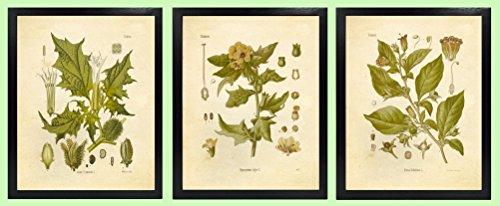 Ink Inc. Magical Herbalism Witchcraft Herbs Vintage Botanical Art Prints - Set of 3 - Belladonna Deadly Nightshade, Henbane, Jimson Weed Datura - 8x10 Matte Unframed]()