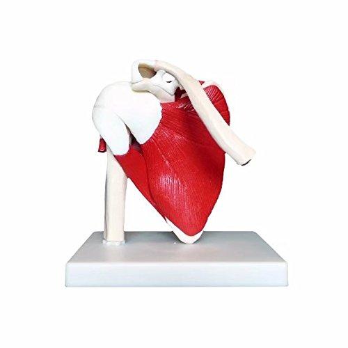 Anatomical Advanced Muscled Shoulder Joint Model Medical Anatomy Skeleton BoNew